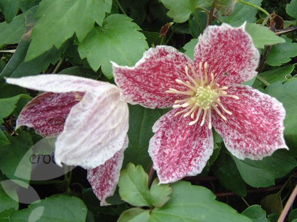 Clematis cirrhosa var. 'purpurascens Freckles'. The earliest of the winter flowering clematis (November to February), is a large evergreen climber that requires a sunny spot