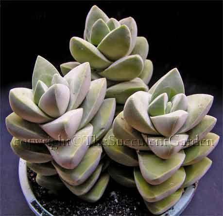 1801 best images about plante succulente on for Succulent plants representative species