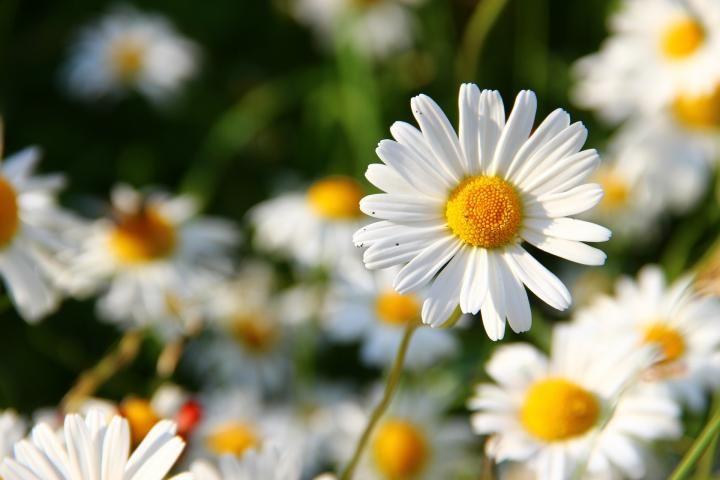 daisies-276112_1920_full_width.jpg April = Daisy and Sea Pea.