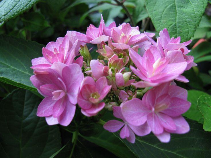 Hydrangea macrophylla 'Romance'