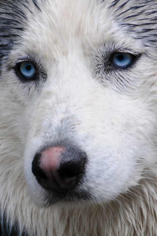 I love this beautiful Siberian Husky picture!! His sweet blue eyes, his snow nose... ♥