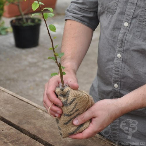 Crab Apple Tree Sapling Gift £24.99