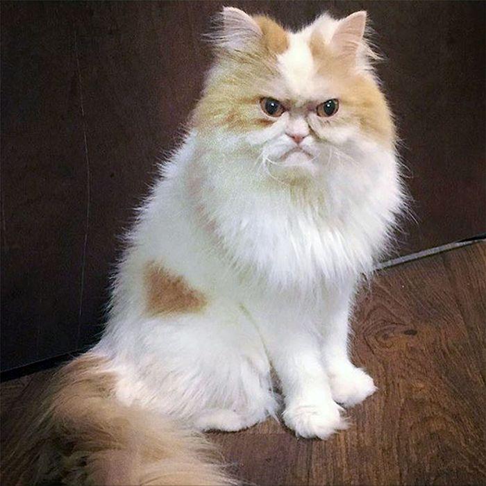 The Internet Has Found A New Grumpy Cat Grumpy Cat Cats Cute Cat Gif