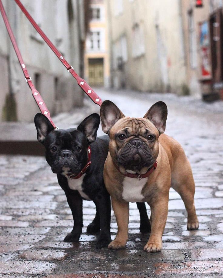 Lola & Pepe, French Bulldogs