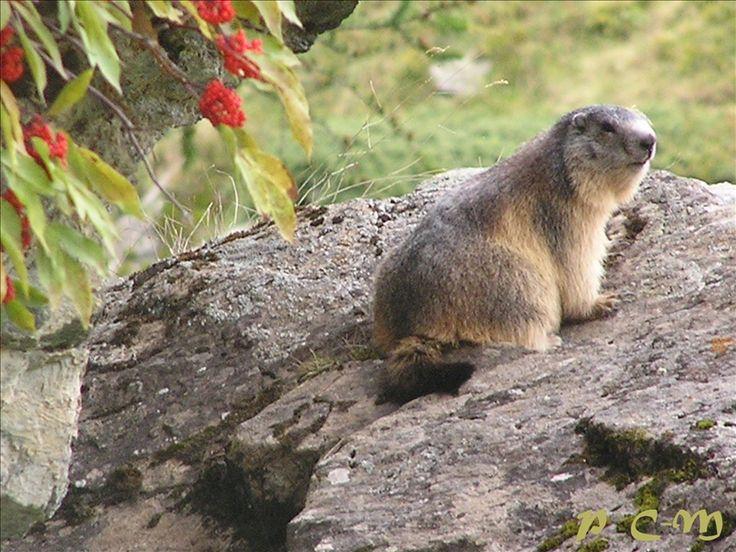 Marmotte, Le Valgaudemar - Parc National des Ecrins.