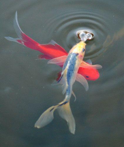 Shubunkin et poisson rouge
