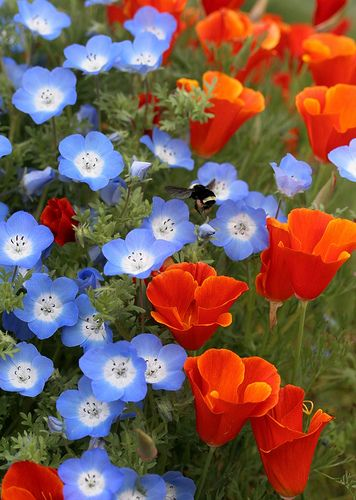 "https://flic.kr/p/63gCDW | Nemophila ""Baby Blue Eyes"" & Cal Poppy 'Red Chief'"