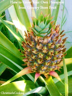 How to plant a pineapple top and grow your own pineapple for How do i plant a pineapple top