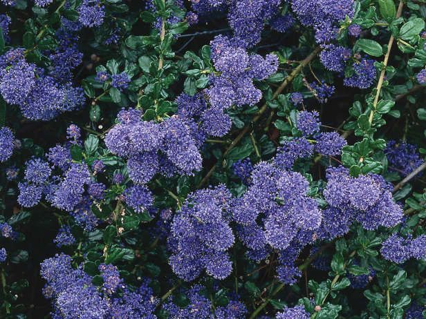 The california lilac is a large evergreen shrub covered for Purple flower shrub california