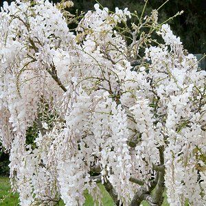Moon garden - white wisteria Stunningly beautiful in the moon light. not sure if it will grow in the Canadian prairies
