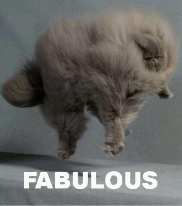#gato #persa #fabulous