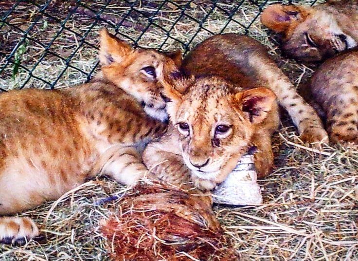 Baby lions, Mauritius wildlife park