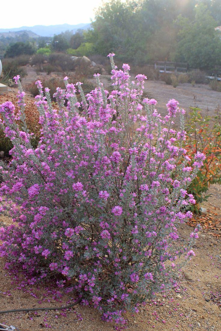 264 best best native u0026 drought tolerant plants images on pinterest