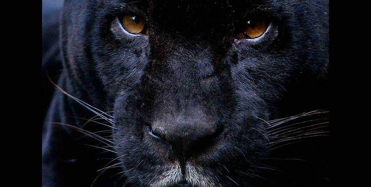 El jaguar negro tiene una alta producción de melanina, por lo cual su pelaje es oscuro. Es un animal solitario.