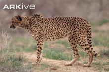 Asiatic cheetah (<i>Acinonyx jubatus venaticus</i>)