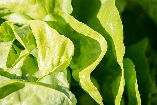 Salade, Laitue, Vert, Vitamines