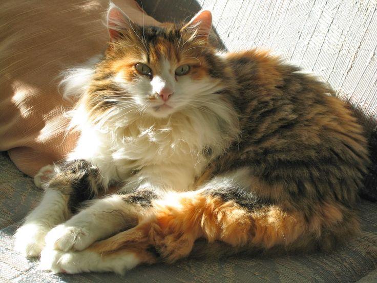 fluffy calico cat - photo #1