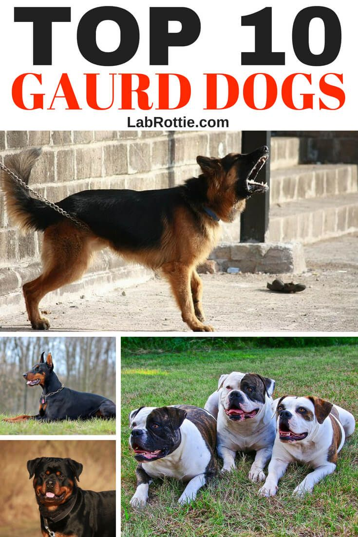 Best Family Guard Dog 8 Good Protecton Dogs For Families Best