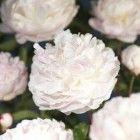 Gammel og kjær staude med fantastisk store og vakre blomster i hvitt, rosa eller rødt, mer eller mindre fylte, lett duftende. Trives i sol og lett skygge, bør få stå i ro. ...