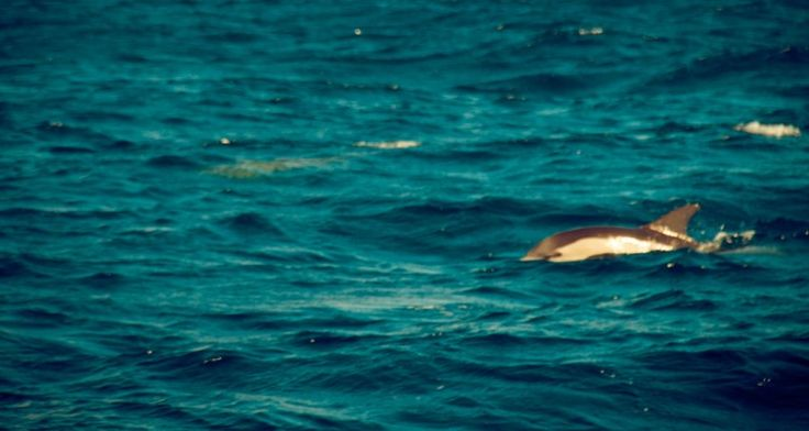 Dolphin watching in Azores.