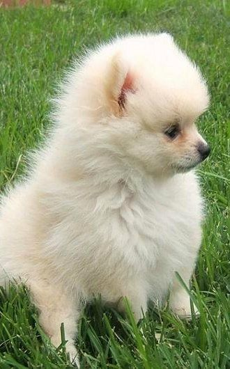 White Pomeranian Puppy                                                       …