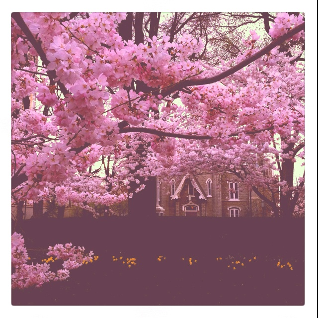 Sakura. When I get a house we are have flowering cherry trees, and I am getting allergy shots