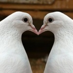 Top 10 Lists - Listverse: Valentines Daymi, Doop La, Posts, La Doop, Around The World, Valentines Day Mi, Goose, Animal, Happy Valentines