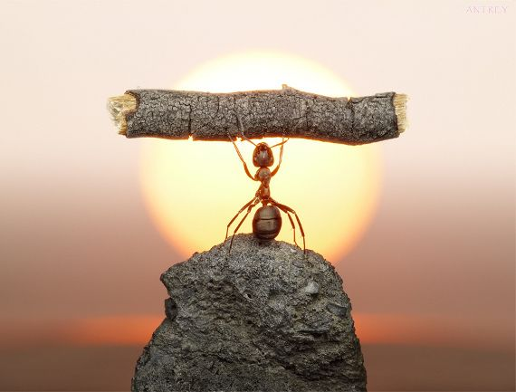 """This is a photoseries featuring ants as the models. Photographer (and apparent ant-whisperer) Andrey Pavlov uses a macro lens to capture the up close and personal lives of ants. Yes, the shots are staged by Andrey, but these are 100% real ants doin' their thang."""