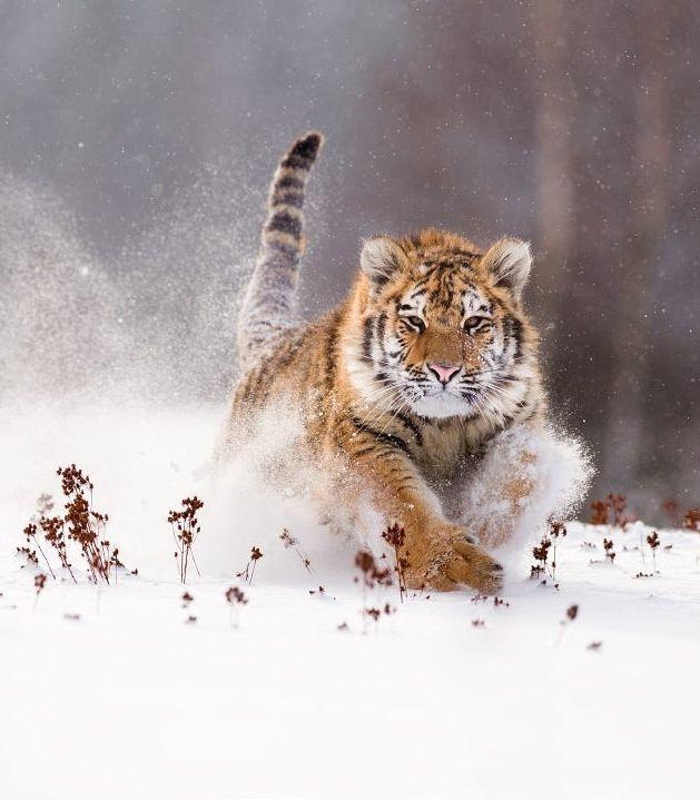 Siberian Tiger by © Jan Pelcman