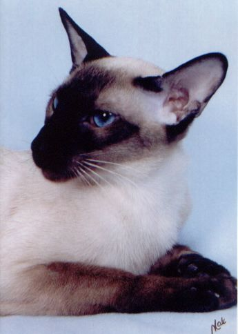 """Modern Siamese — """"wedge"""" shaped head, large, sometimes protruding blue eyes, large ears, elongated face and body"""