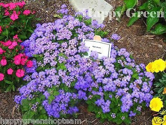 Floss Flower Dwarf 2000 Seeds Blue Mink Ageratum Houstonianum Annual In 2020 Flower Seeds Flowers Perennials Flowers