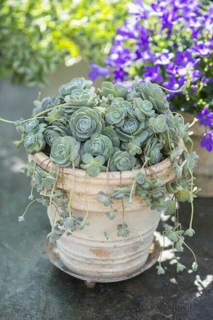 Succulant container garden!!! Bebe'!!! Great Combination of Pot and Plant!!!