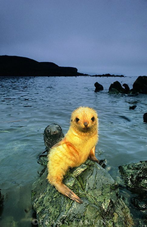 """A Young Seal """"Pup"""" ~ With His Mother in The Background. (Frans Lanting Photography.)"""