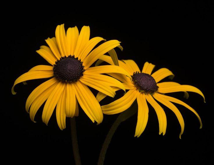Sonnenhut Goldsturm - Rudbeckia fulgida sullivantii Goldsturm günstig online kaufen #Staude #Blüte #Blume #Garten #Natur #Gestaltung #Pflanze #Sommer #Sonne #Frühling #Schön #Fotografie #Sonnenhut