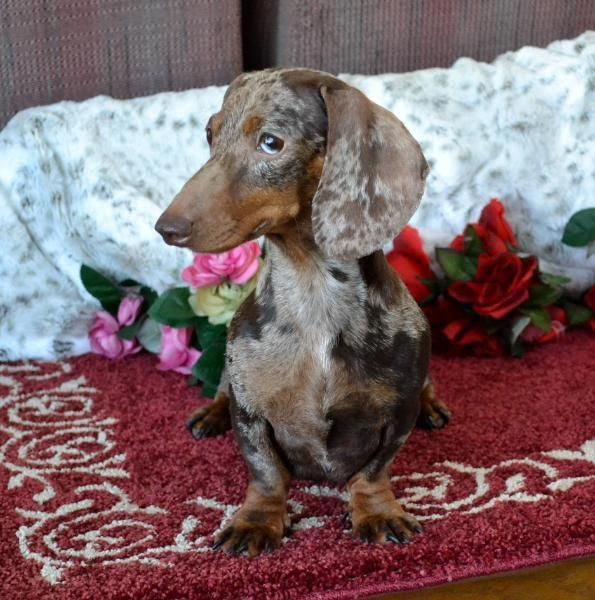 Determine Even More Details On Dachshund Look At Our Web Site