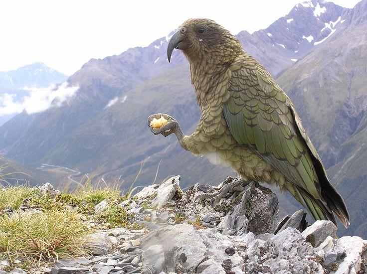 New Zealand Kea - New Zealand's mountain/alpine parrot, a cheeky customer.