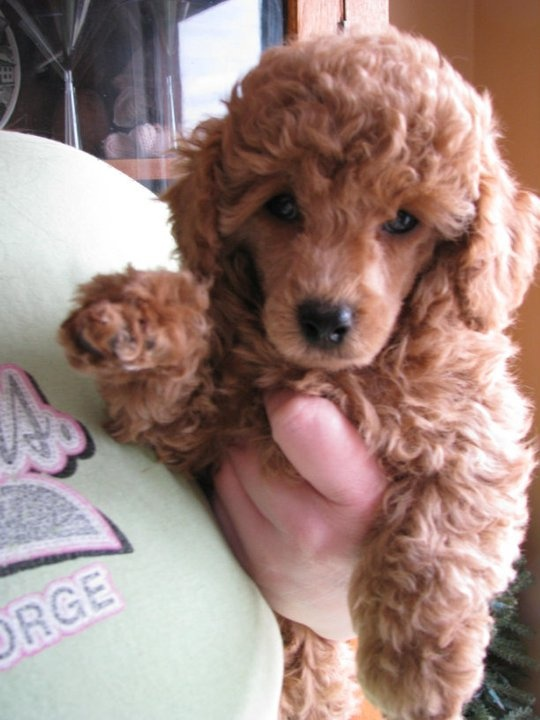 17 Best Images About Poodle Haircuts On Pinterest