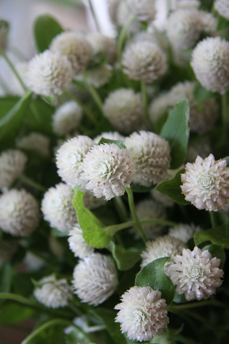 Gomphrena globosa (globe amaranth, bachelor's button) white