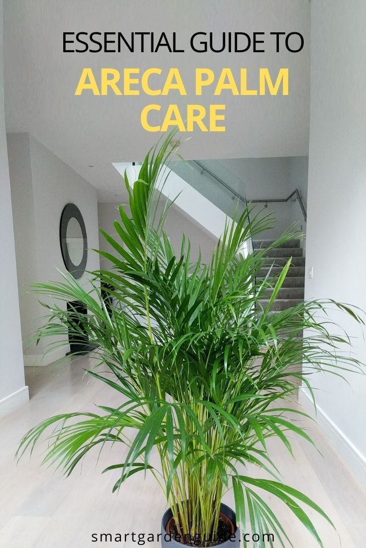 Areca Palm Care How To Grow Dypsis Lutescens Smart Garden Guide Areca Palm Care Areca Palm House Plant Care