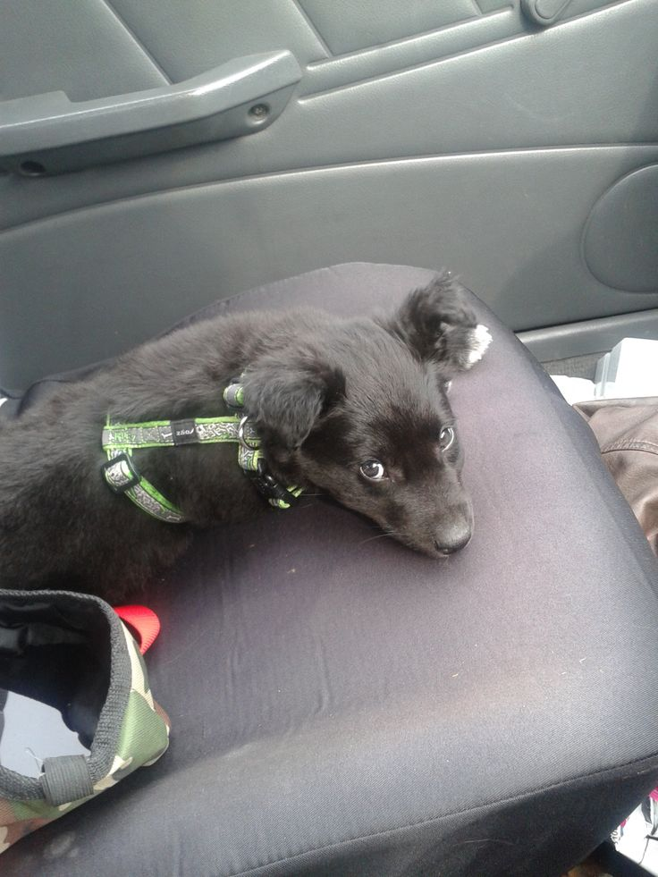 misha 8 weeks vet visit. not liking his new harness