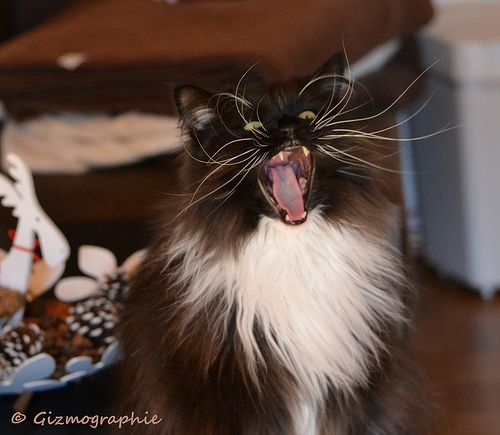 beware of cat !!! Maine Coon - Perser Mix