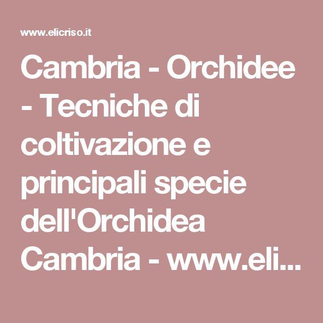 Cambria - Orchidee - Tecniche di coltivazione e principali specie dell'Orchidea Cambria - www.elicriso.it