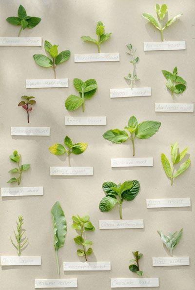 Munt kweken is dankbaar, want alle soorten muntplanten zijn makkelijk. En dat is mooi, want van munt wil je steeds meer, het liefs zo vers mogelijk