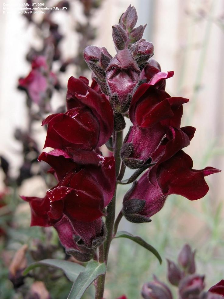 'Black Prince' Snapdragon. Started from seed last year, propagated with cutting this year. Great plants zone 7