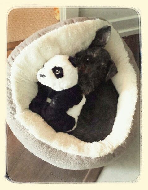 Charliebear schnauzer and his panda