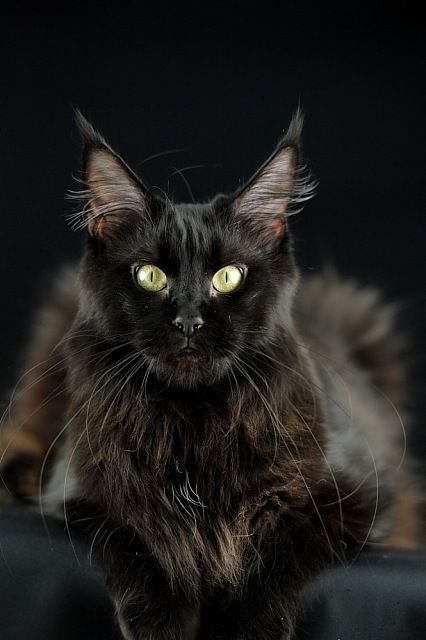 Maine coon AT * Candycoons Nevada Dream Photos ... Love those very long whiskers!