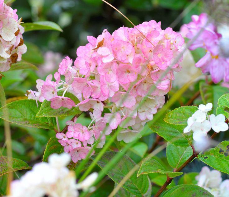 Les 25 meilleures id es de la cat gorie hortensia rose sur pinterest mariage d 39 hortensia rose - Comment bouturer un hortensia ...