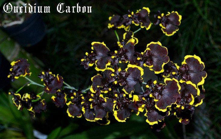 Oncidium carbon