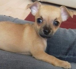 Dogs and Puppies for sale in the UK