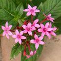 Pink Pentas Flowers / Perennial Plants - attracts butterflies & hummingbirds - garden